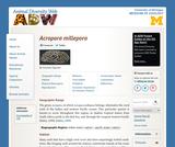 Acropora millepora: Information
