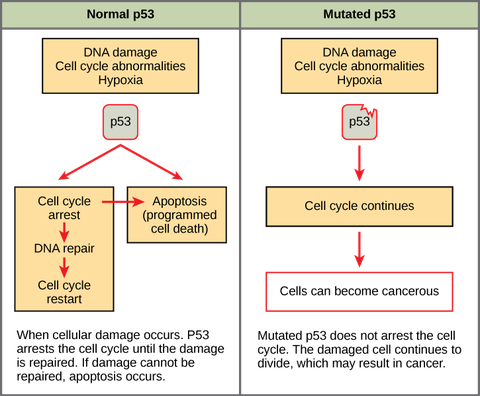 Cancer and the Cell Cycle