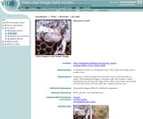 Waxworm moth