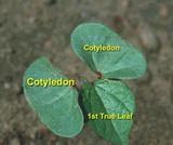 Broadleaf Weed ID Characteristics